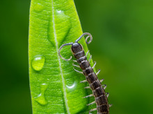 Macro Photo Of Little Centiped...