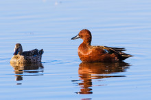 Pair Of Cinnamon Teal (Spatula Cyanoptera) Ducks Swimming In A Pond At Merced National Wildlife Refuge