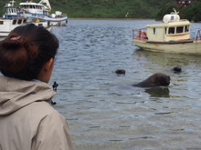 A Woman Staring At A Large Wild Sea Lion That Lives In The Sea, Puerto Montt, Chile
