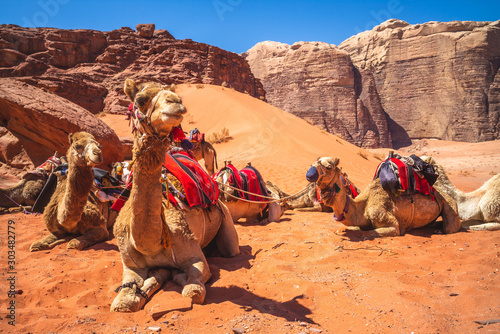 Photo camel in the wadi rum desert, southern jordan