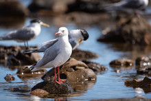 Silver Gull Detail, Perched In A Natural Rock Pool Surround.