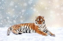 Tiger In A Snow On Christmas Background