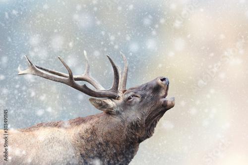 La pose en embrasure Cerf Deer in a snow on Christmas background