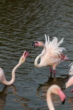 Great Pink Flamingos Fighting On A Water Pond In La Camargue Wetlands, France