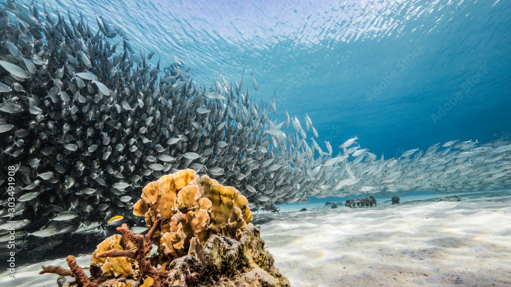 Fototapety, obrazy: Bait ball / school of fish in turquoise water of coral reef in Caribbean Sea / Curacao