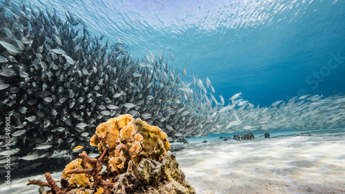 Obraz Bait ball / school of fish in turquoise water of coral reef in Caribbean Sea / Curacao - fototapety do salonu