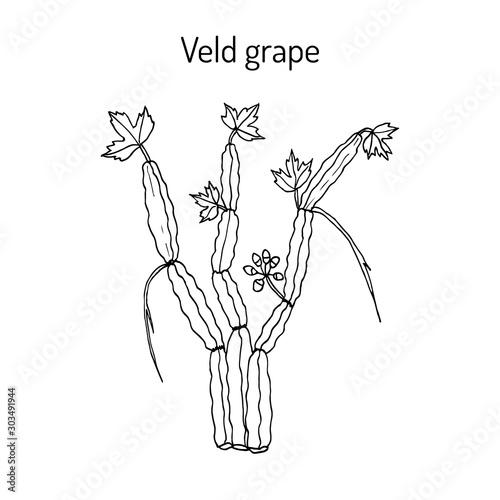 Veld grape cissus quadrangularis , medicinal plant Wallpaper Mural