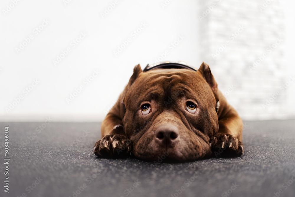 Fototapeta adorable brown american bully dog portrait indoors
