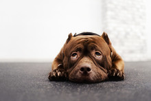 Adorable Brown American Bully Dog Portrait Indoors