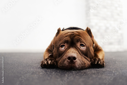 American Bully Dog Portrait Indoors