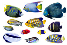 Set Of Saltwater Angelfish On ...