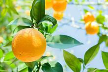 Orange Tree In Orange Garden