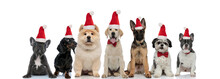 Group Of Seven Santa Claus Puppies Sitting Together