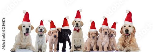 Foto op Plexiglas Hond big Labrador and Golden retriever family celebrating christmas together