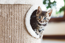 Young Bengal Kitten Play In Ca...