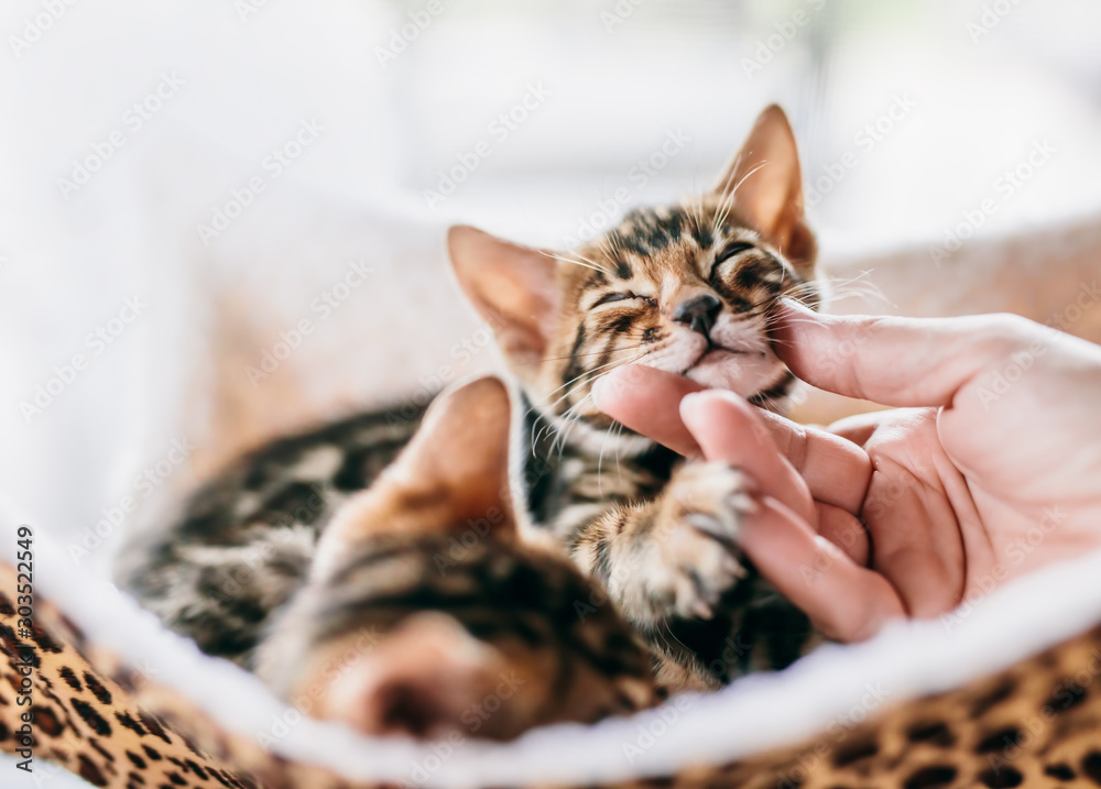 Fototapeta Young Bengal cat stroked under chin by a woman hand