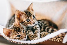 Two Young Bengal Kittens Hug W...