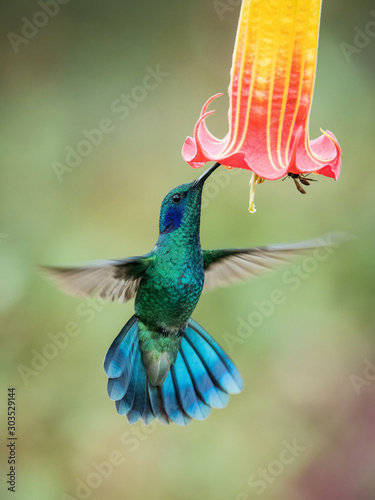 Photographie Colibri thalassinus, Mexican violetear The Hummingbird is hovering and drinking the nectar from the beautiful flower in the rain forest