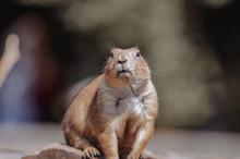 Beaver Gnawing Sticks On Stone...