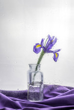 Still Life With A Beautiful Fresh Spring Flower Purple Iris. On A Light Background With Drops As After Rain. One Flower Stands In A Glass Vase Bottle On The Table Lies The Fabric In Color.
