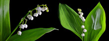 Blossoming Lily Of The Valley ...