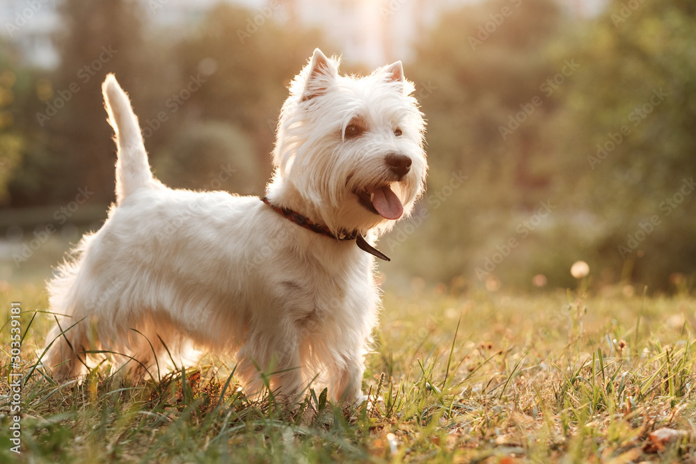Fototapeta Portrait of One West Highland White Terrier in the Park