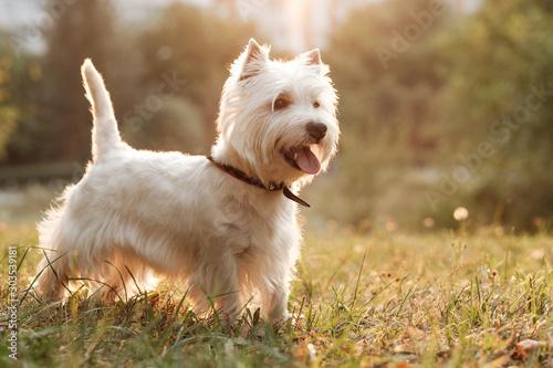 Fototapeta Portrait of One West Highland White Terrier in the Park obraz