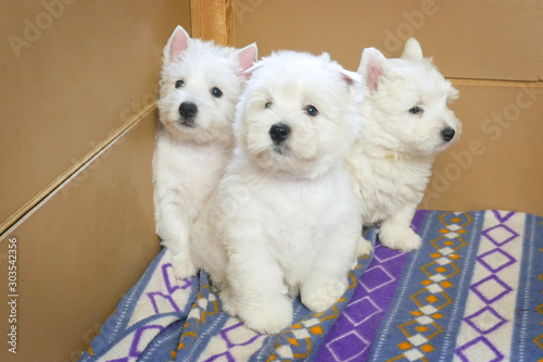 Cuadros en Lienzo funny white west highland terrier dogs puppy sit in their aviary for little dog