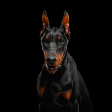 Portrait Of Angry Doberman Dog...