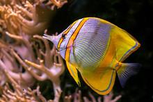 Copperband Butterflyfish Chelm...