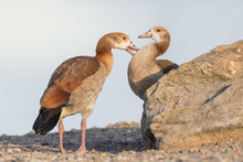 Juvenile Egyptian Geese Next T...