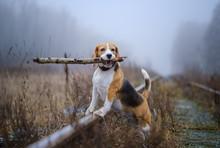 Funny Dog Breed Beagle Holding...