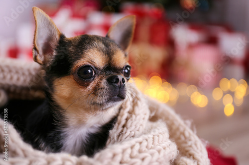 Foto  Mini chihuahua puppy as christmas present for children concept