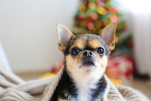 Mini Chihuahua Puppy As Christ...