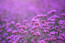 Beautiful Violet Verbena Flowe...