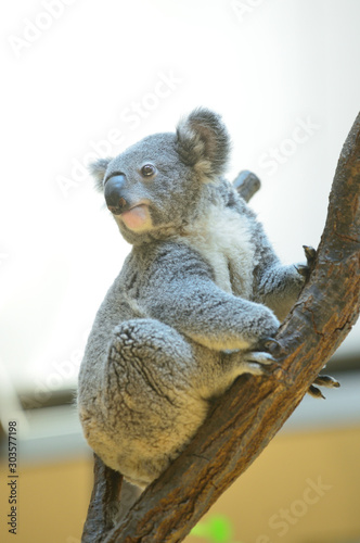 Fond de hotte en verre imprimé Koala コアラ