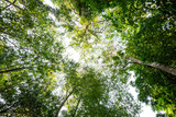 Fototapeta  - Low angle view of tropical tree with green leaves in rainforest.