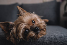 Yorkshire Terrier Dog On The C...