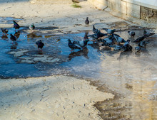 A Flock Of Pigeons At The Wate...