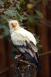 Egyptian vulture (Neophron percnopterus), also called the white scavenger vulture or pharaoh's chicken sitting on an old tree stump.
