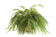 Pot With Boston Fern Plant Isolated On White. Home Decor