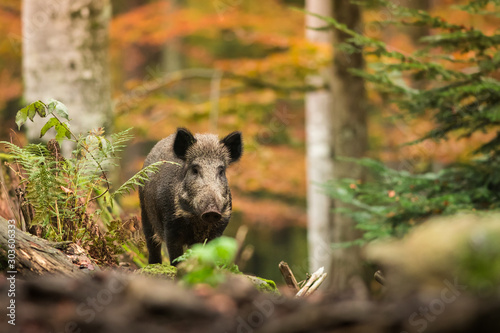 Foto Wild boar in the autumn forest, natural environment, habitat, close up, Sus scro