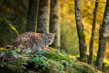 Eurasian Lynx In The Natural E...