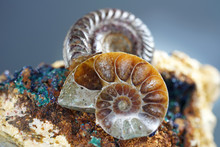 Ammonite Is A Fossilization Of...