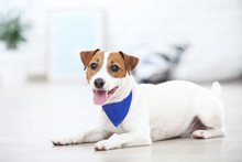 Beautiful Jack Russell Terrier Dog With Bandana Lying At Home