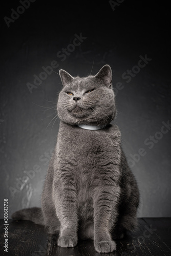 young plump cat british on a dark background Wall mural