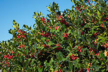 Holly Bush Hedge With Red Berries Against Blue Sky Background