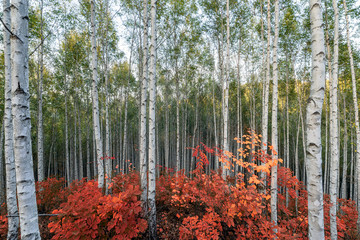 Panel Szklany Las Birch trees with red leaves plant in autumn on Inje forest