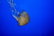 canvas print picture - Closeup shot fo a beautiful jellyfish underwater with a blue background