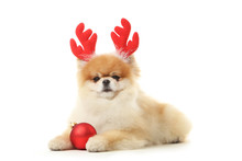 Pomeranian Dog With Horns And Bauble Isolated On White Background